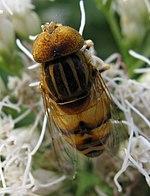 Eristalinus quinquestriatus1.jpg