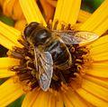 Eristalis sp. - Flickr - gailhampshire (13).jpg