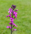 Erysimum 'Bowles Mauve'. Kort levende rijk bloeiende plant. Locatie, Tuinreservaat Jonkervallei.jpg