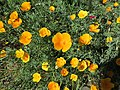 Eschscholzia californica 02.jpg