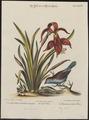 Estrilda bengalus - 1700-1880 - Print - Iconographia Zoologica - Special Collections University of Amsterdam - UBA01 IZ15900139.tif