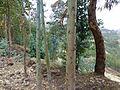Ethiopie-Exploitation de l'eucalyptus (10).jpg