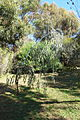 Eucalyptus caesia - Jardín Botánico de Barcelona - Barcelona, Spain - DSC09016.JPG
