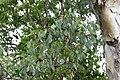 Eucalyptus polyanthemos (23991518635).jpg