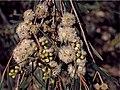 Eucalyptus pulchella buds.jpg