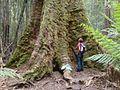 Eucalyptus regnans..jpg