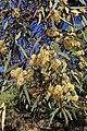 Eucalyptus sp. (31804534003).jpg