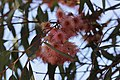 Eucalyptus tree (43140551052).jpg