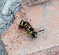 Eumenes sp. - Flickr - gailhampshire (2).jpg