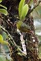 Euphonia-gouldi-1.jpg