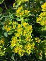 Euphorbia polychroma sl9.jpg