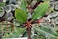 Euphorbia viguieri 5zz.jpg