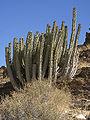 Euphorbia virosa (habitus).jpg