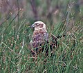 Eurasian Marsh Harrier (Circus aeruginosus)- Female near Hodal I Picture 2101.jpg