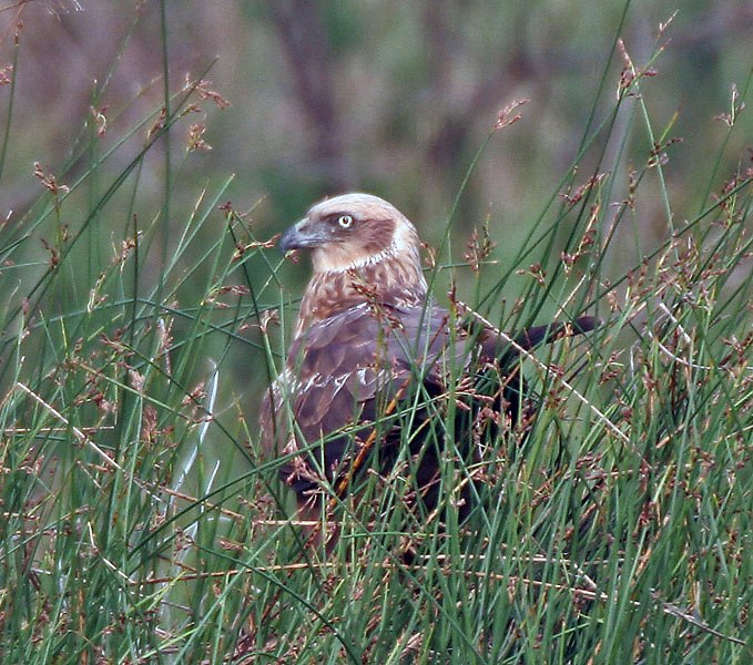 Eurasian Marsh Harrier (Circus aeruginosus)- Female near Hodal I Picture 2101