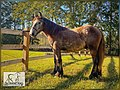 European Belgian Draft Horse Stud Colt LowCountry Acres Earl 03.jpg