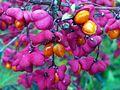 Evonimus europaeus Fruits Closeup DehesaBoyalPuertollano.jpg