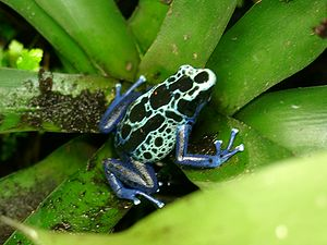 Poison dart frog - Dyeing dart frog (Dendrobates tinctorius).