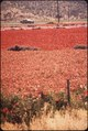 FLOWER FIELDS OF LOMPOC WHERE MANY OF THE WORLD'S FLOWER SEEDS ARE GROWN - NARA - 542709.tif