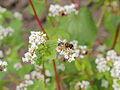 Fagopyrum esculentum-IMG 6190.jpg