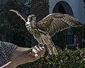 Falco cherrug 01(js), Tunisia.jpg