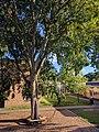 Falcon Heights Elementary tree 2.jpg
