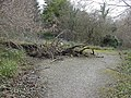 Fallen Tree, near Tintern - geograph.org.uk - 92538.jpg