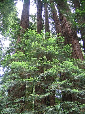 This ring of Coast Redwoods Sequoia sempervire...