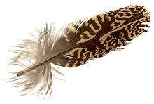 Feather of Otis tarda.jpg