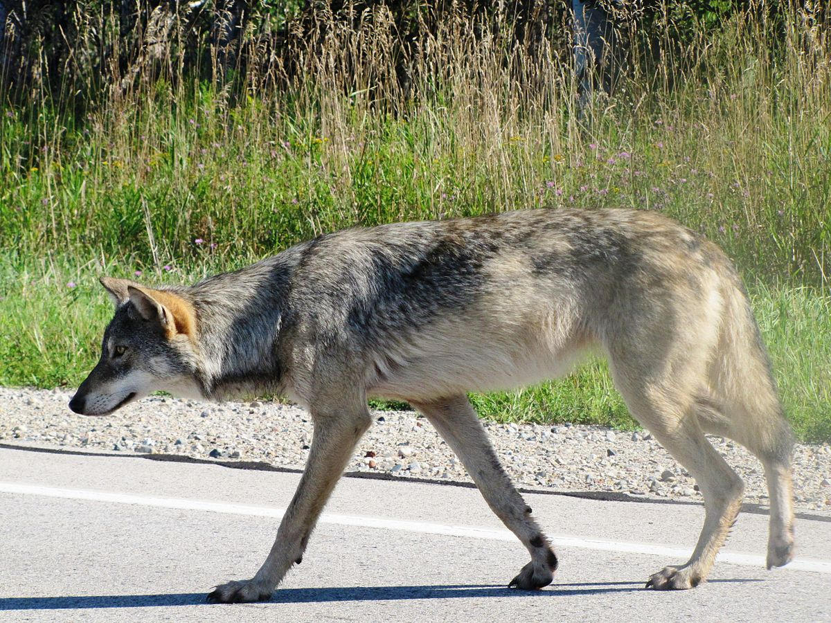 Great Lakes boreal wolf Wikipedia