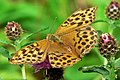 Female Silver-washed Fritillary - geograph.org.uk - 920272.jpg