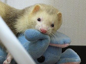 Ferret plays a stuffed animal.