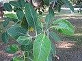 Ficus Benghalensis - പേരാൽ 03.jpg