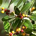 Ficus obliqua-Leaves and fruit.jpg