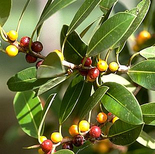 Specie Di Ficus Wikipedia