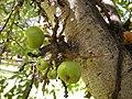 Ficus racemosa fructescence.jpg