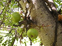 Ficus racemosa fructescence