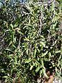 Ficus salicifolia, loof en vye, Wonderboom NR.jpg