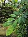 Ficus tinctoria 58.jpg