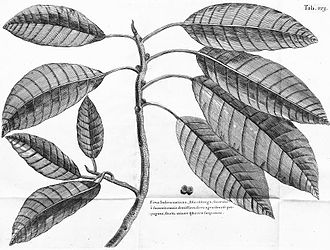 Ficus aurea - Engraving of Ficus maxima indica after a drawing by Hans Sloane, the earliest published illustration of Ficus aurea and the basis of Thomas Miller's Ficus maxima. The unpaired figs in the illustration led to confusion as to the identity of the species described by Miller.