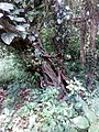 Ficustinctoriakerala 02.jpg