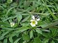 Field Pansy - Viola arvensis - geograph.org.uk - 1307854.jpg
