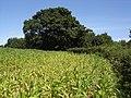 Field of maize - geograph.org.uk - 514183.jpg