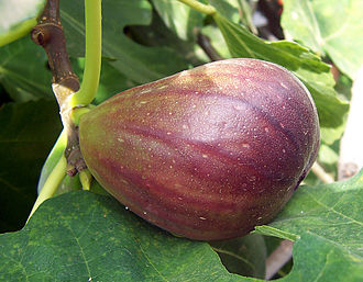 Ficus - A common fig's syconium (fruit)
