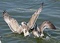 Fighting gulls.jpg