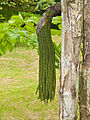 Fishtail Palm (Caryota mitis) young fruits (15478685302).jpg