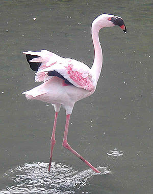 Zwergflamingo (Phoeniconaias minor)