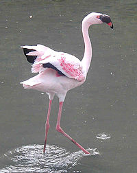 Какого цвета фламинго