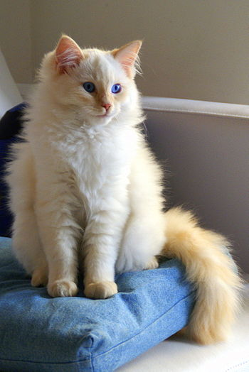 Flame point Ragdoll kitten
