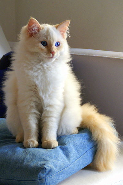 ملف:Flame point Ragdoll.jpg
